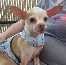 Enchantment Chihuahua Rescue LTD